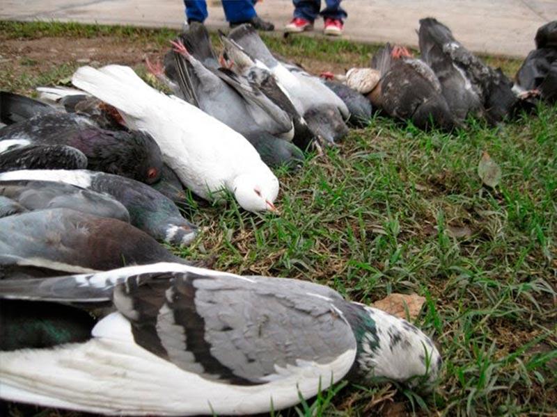 aves-muertas-envenenadas